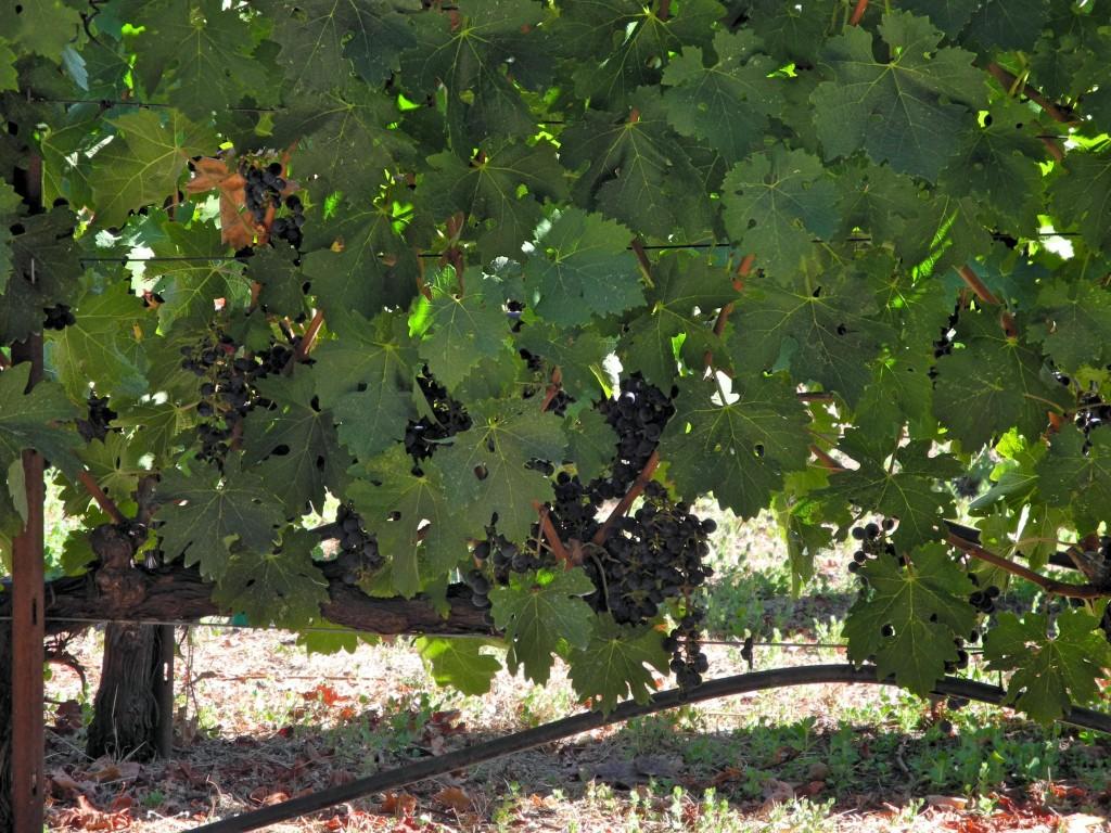 Dá pra ver os cachos de uva?