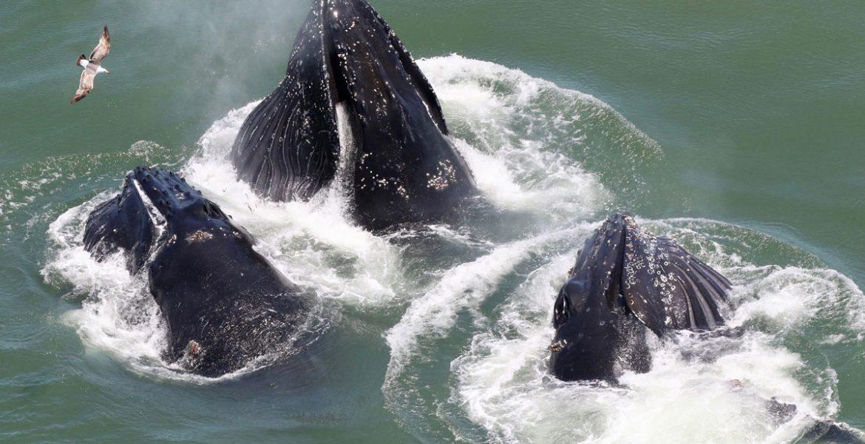 Baleias jubarte na baia de San Francisco