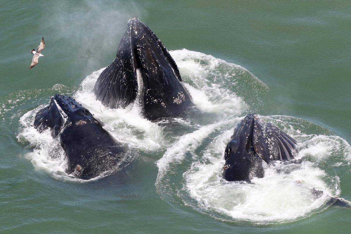 Baleias jubarte na Baía de San Fancisco