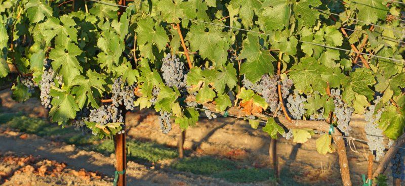 Vinhos da California